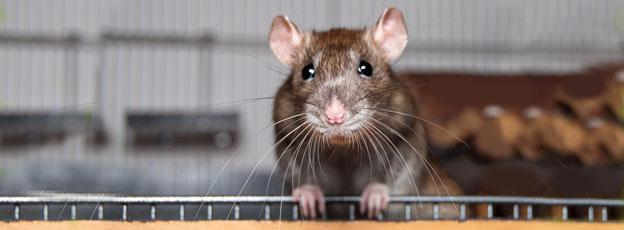 Super Rote Vogelmilbe bei Mäusen und Ratten- www.die-rote-vogelmilbe.de #SR_45